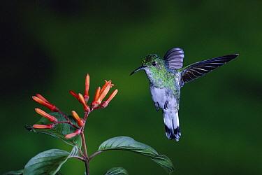 White-tailed Emerald (Elvira chionura) hummingbird female flying near flowers (Hamelia patens) rainforest, Costa Rica  -  Michael & Patricia Fogden