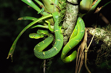Green Palm Viper (Bothriechis lateralis) coiled around tree branch, Monteverde Cloud Forest Reserve, Costa Rica  -  Michael & Patricia Fogden