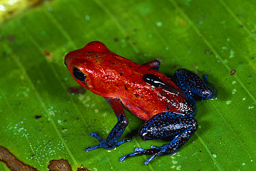 Strawberry Poison Dart Frog (Oophaga pumilio) female, carrying tadpole to water, rainforest, Costa Rica  -  Michael & Patricia Fogden