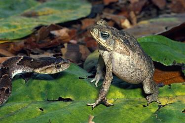 Cane Toad (Bufo marinus) defensive display against False Fer-de-lance (Xenodon rabdocephala) rainforest, Costa Rica  -  Michael & Patricia Fogden