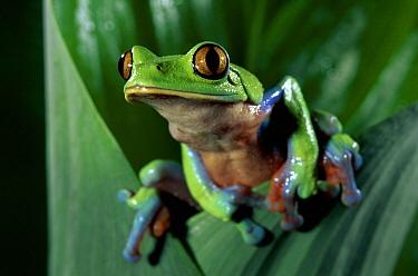 Blue-sided Leaf Frog (Agalychnis annae) close-up on leaf, cloud forest, Costa Rica  -  Michael & Patricia Fogden