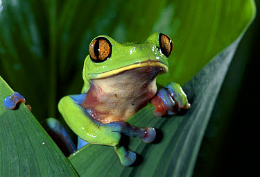 Blue-sided Leaf Frog (Agalychnis annae) hanging on leaf, close-up, cloud forest, Costa Rica  -  Michael & Patricia Fogden