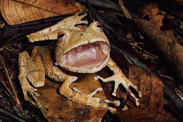 Johnson's Horned Treefrog (Hemiphractus johnsoni) in threat display, Amazon, Peru  -  Michael & Patricia Fogden