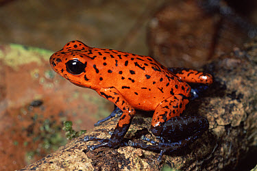 Strawberry Poison Dart Frog (Oophaga pumilio) in warning colors, rainforest, Costa Rica  -  Michael & Patricia Fogden