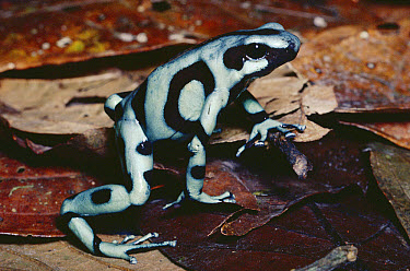 Green and Black Poison Dart Frog (Dendrobates auratus) showing warning colors, rainforest, Costa Rica  -  Michael & Patricia Fogden