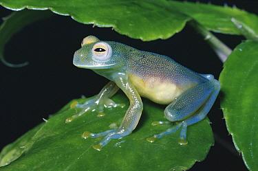 Grainy Cochran Frog (Centrolenella granulosa) sitting on leaf, cloud forest ecosystem, Costa Rica  -  Michael & Patricia Fogden