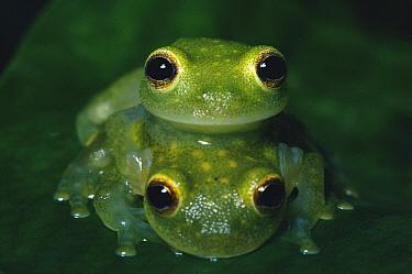 Fleischmann's Glass Frog (Centrolenella fleischmanni) pair in amplexus, Central America  -  Michael & Patricia Fogden