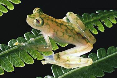 Reticulated Glass Frog (Hyalinobatrachium valerioi) on leaf, Monteverde Cloud Forest Reserve, Costa Rica  -  Michael & Patricia Fogden