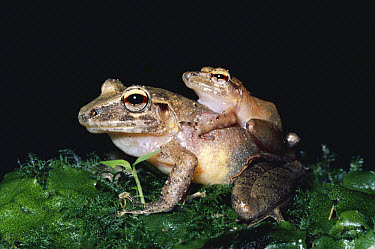 Slim-fingered Rain Frog (Eleutherodactylus crassidigitus) pair, in amplexus with eggs being released and fertilized, cloud forest, Costa Rica  -  Michael & Patricia Fogden