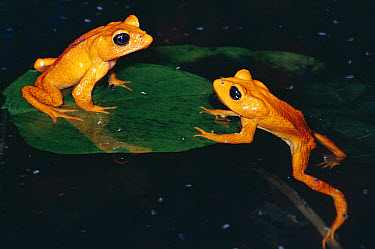 Golden Toad (Bufo periglenes) males, breeding aggregation, extinct, Monteverde Cloud Forest Reserve, Costa Rica  -  Michael & Patricia Fogden