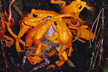 Golden Toad (Bufo periglenes) males, breeding aggregation, extinct, Monteverde Cloud Forest Reserve, Costa Rica  -  Michael & Patricia Fogden