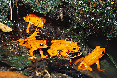 Golden Toad (Bufo periglenes) males and single female form breeding aggregation, extinct, Monteverde Cloud Forest Reserve, Costa Rica  -  Michael & Patricia Fogden