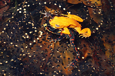 Golden Toad (Bufo periglenes) pair mating, Monteverde Cloud Forest Reserve, Costa Rica  -  Michael & Patricia Fogden