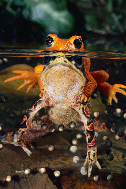 Golden Toad (Bufo periglenes) pair spawning, extinct, Costa Rica  -  Michael & Patricia Fogden
