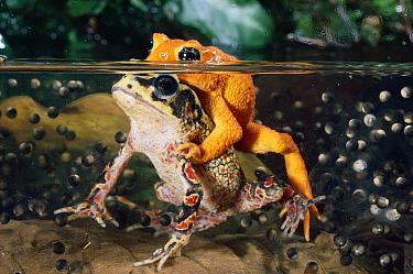 Golden Toad (Bufo periglenes) pair spawning underwater, extinct, Monteverde Cloud Forest Reserve, Costa Rica  -  Michael & Patricia Fogden