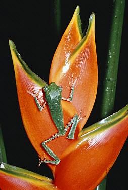 Tiger-striped Leaf Frog (Phyllomedusa tomopterna) climbing on Heliconia (Heliconia stricta), Amazon rainforest, Ecuador  -  Michael & Patricia Fogden