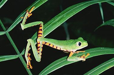 Tiger-striped Leaf Frog (Phyllomedusa tomopterna) or Barred Leaf Frog, portrait, Amazon rainforest, Ecuador  -  Michael & Patricia Fogden