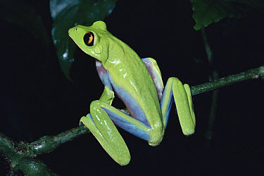 Blue-sided Leaf Frog (Agalychnis annae) perched on stem, back view, cloud forest, Costa Rica  -  Michael & Patricia Fogden
