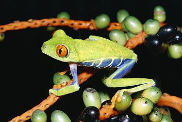 Tiger-striped Leaf Frog (Phyllomedusa tomopterna) or Barred Leaf Frog, portrait, side view, South America  -  Michael & Patricia Fogden