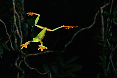 Gliding Leaf Frog (Agalychnis spurrelli) leaping, rainforest, Costa Rica  -  Michael & Patricia Fogden