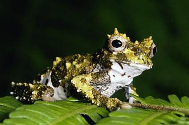 Lancaster's Treefrog (Isthmohyla lancasteri) portrait on leaf, cloud forest, Costa Rica  -  Michael & Patricia Fogden