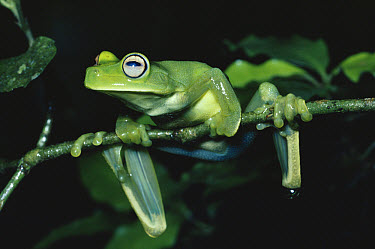 Emerald Tree Frog (Hyla musica) hanging onto tree branch, cloud forest, south eastern Brazil  -  Michael & Patricia Fogden