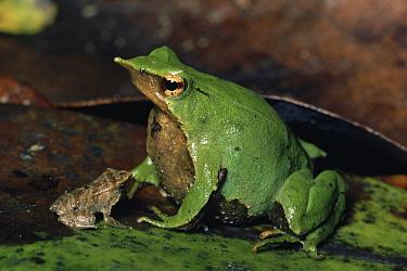 Darwin's Frog (Rhinoderma darwinii) male with froglets, in vocal sac, austral rainforest, Chiloe Island, Chile  -  Michael & Patricia Fogden