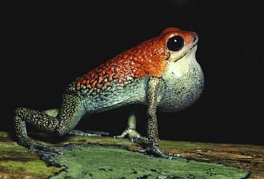 Granular Poison Dart Frog (Dendrobates granuliferus) male calling, rainforest, Costa Rica  -  Michael & Patricia Fogden