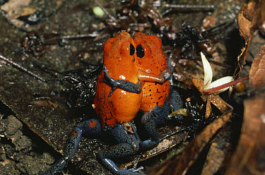 Strawberry Poison Dart Frog (Oophaga pumilio) males wrestling for territory, rainforest, Costa Rica  -  Michael & Patricia Fogden