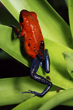 Strawberry Poison Dart Frog (Oophaga pumilio) females carrying tadpole, rainforest, Costa Rica  -  Michael & Patricia Fogden