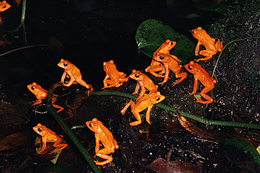 Golden Toad (Bufo periglenes) males at breeding aggregation, Monteverde Cloud Forest Reserve, Costa Rica  -  Michael & Patricia Fogden