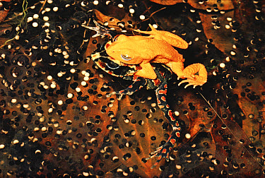 Golden Toad (Bufo periglenes) pair spawning in temporary pool, Monteverde Cloud Forest Reserve, Costa Rica  -  Michael & Patricia Fogden