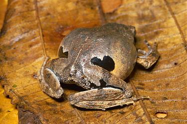 Southern Frog (Physalaemus sp) flashes false eye spots in defensive display, rainforest, Manu National Park Reserve, Peru  -  Michael & Patricia Fogden