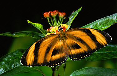 Butterfly (Dryadula heliconius) feeding at flowers of Milkweed (Asclepias sp) in rainforest, Costa Rica  -  Michael & Patricia Fogden