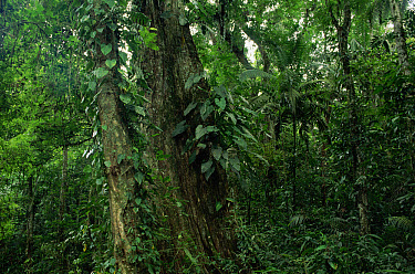 Interior of lowland rainforest including epiphytes, La Selva Biological Research Station, Costa Rica  -  Michael & Patricia Fogden