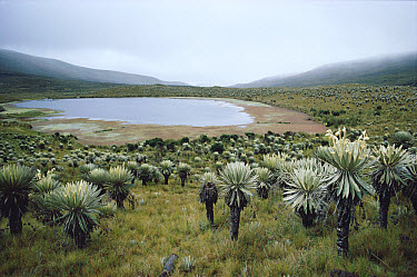 Frailejones (Espeletia sp) a Paramo flower growing at 5,000 meters elevation, Colombia  -  Michael & Patricia Fogden