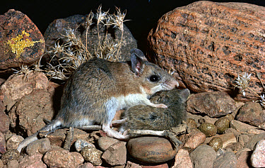 Southern Grasshopper Mouse (Onychomys torridus) feeding on Harvest Mouse, Chihuahua Desert, Mexico  -  Michael & Patricia Fogden