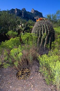 Black-tailed Rattlesnake (Crotalus molossus) coiled near cactus, Chiricahua Mountains, Arizona  -  Michael & Patricia Fogden