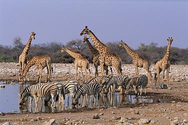 Burchell's Zebra (Equus burchellii) and Giraffe (Giraffa camelopardalis) at waterhole, Etosha National Park, Namibia  -  Michael & Patricia Fogden