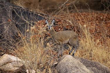 Klipspringer (Oreotragus oreotragus) portrait, Matopos National Park, Zimbabwe  -  Michael & Patricia Fogden