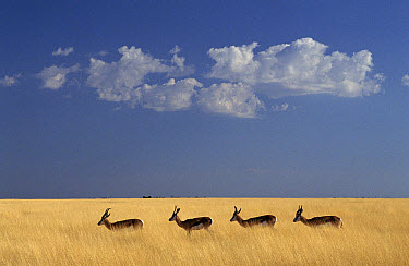 Springbok (Antidorcas marsupialis) in grass, Etosha National Park, Namibia  -  Michael & Patricia Fogden