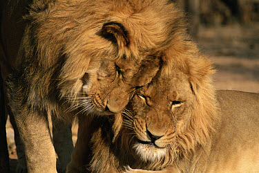 African Lion (Panthera leo) two males, Mt Etjo Game Park, Namibia  -  Michael & Patricia Fogden