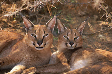 Caracal (Caracal caracal) pair, resting together, Harnas Wildlife Sanctuary, Namibia  -  Michael & Patricia Fogden
