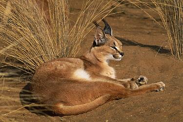 Caracal (Caracal caracal) resting, Harnas Wildlife Sanctuary, Namibia  -  Michael & Patricia Fogden