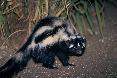 Striped Polecat (Ictonyx striatus), Harnas Wildlife Sanctuary, Namibia  -  Michael & Patricia Fogden