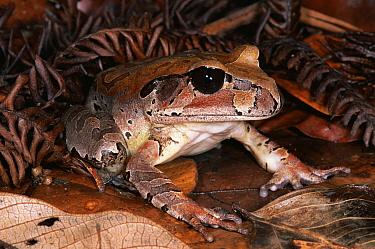 Northern Barred Frog (Mixophyes schevilli) in the rainforest, Kuranda State Forest, Queensland, Australia  -  Michael & Patricia Fogden