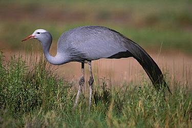 Blue Crane (Anthropoides paradisea), Etosha National Park, Namibia  -  Michael & Patricia Fogden