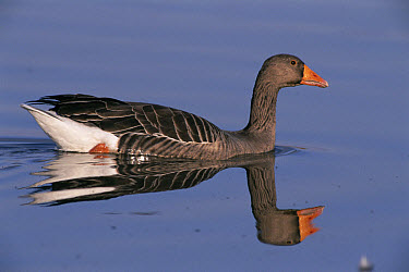 Greylag Goose (Anser anser) and reflection, Cley, Norfolk, England  -  Michael & Patricia Fogden