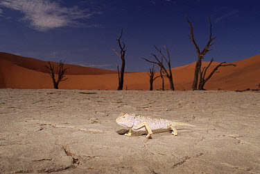 Namaqua Chameleon (Chamaeleo namaquensis), Sossusvlei, Namib Desert, Namibia  -  Michael & Patricia Fogden