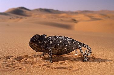 Namaqua Chameleon (Chamaeleo namaquensis) defensive display, Namib Desert, Damaraland, Namibia  -  Michael & Patricia Fogden